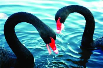 Crni labud
